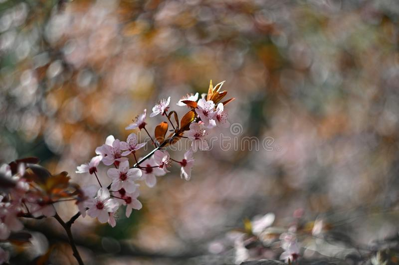 Spring blossom background. Beautiful nature scene with blooming cherry tree - Sakura. Orchard Abstract blurred background in stock photo