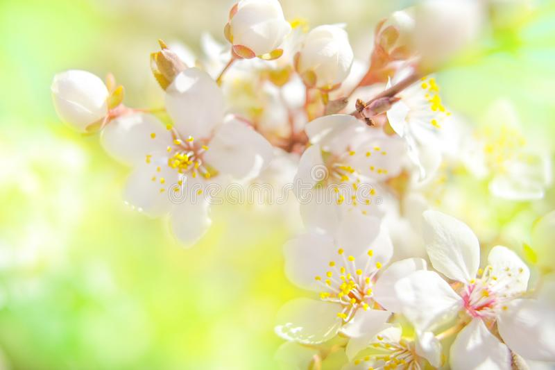 Spring blossom background. Beautiful nature scene with blooming tree and sun flare stock photos