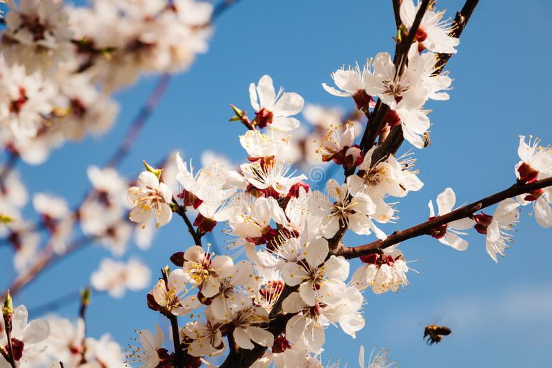 Spring blossom background. Beautiful nature scene with blooming tree and sun flare. royalty free stock photo