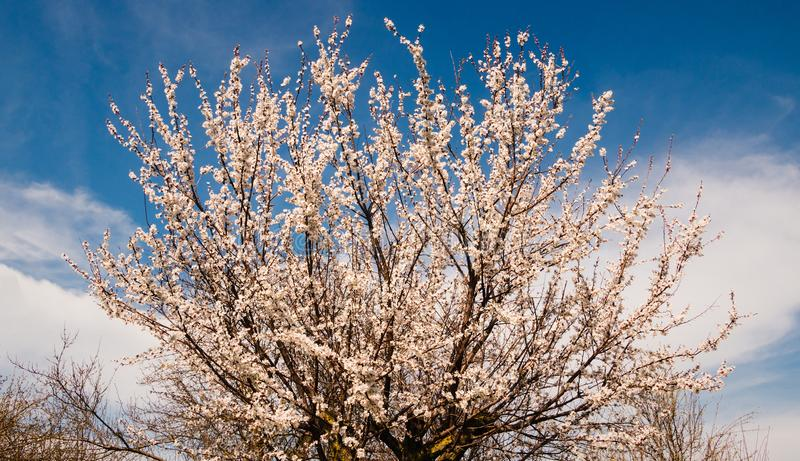 Spring blossom background. Beautiful nature scene with blooming tree and sun flare. Sunny day. stock image
