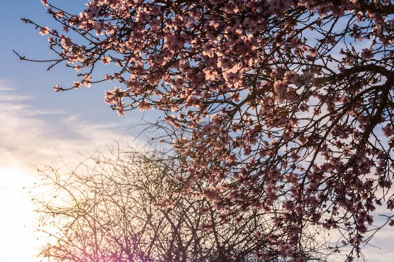 Spring blossom background. Beautiful nature scene with blooming tree and sun flare. Sunny day. Spring flowers. Beautiful Orchard. royalty free stock image
