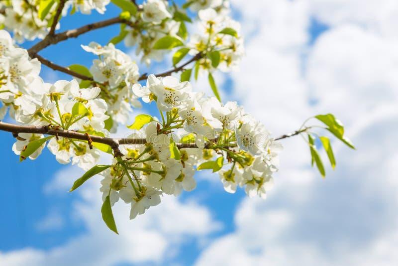 Spring blossom background. Japanese spring scenics Spring flowers Spring Background royalty free stock images