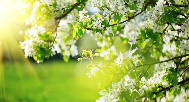 Spring blossom background. Nature scene with blooming tree and sun flare. Spring flowers. Beautiful orchard stock images