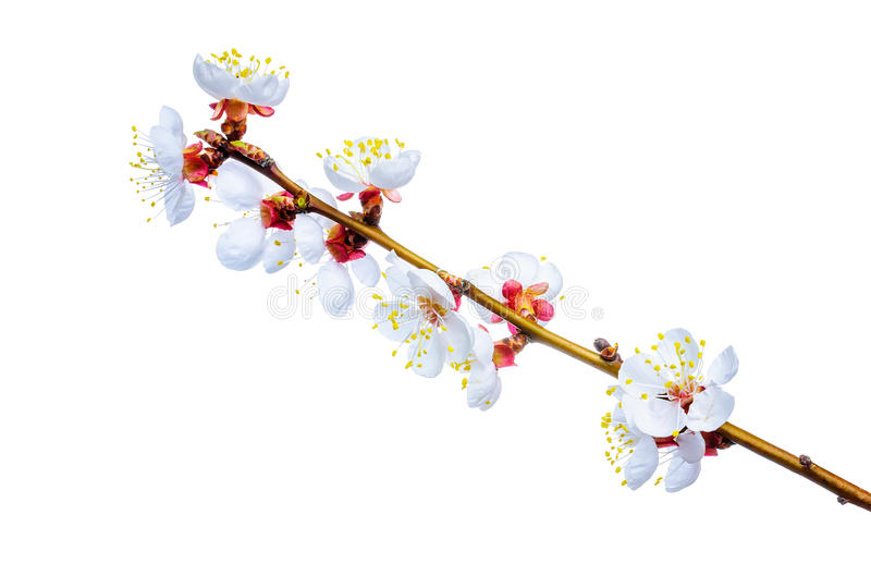 Download Spring blossom stock photo. Image of beginnings, beauty - 39512968