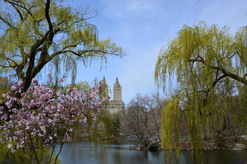 Spring blossom in Central Park. With blue sky royalty free stock photography