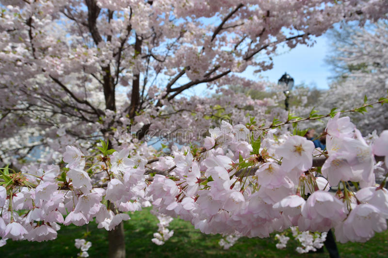 Spring blossom in Central Park stock photography