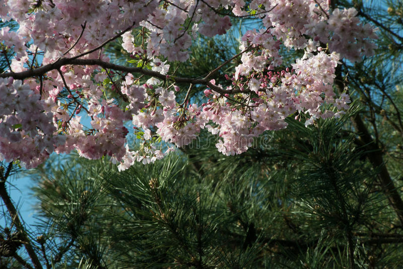 Spring blossom day blue sky on branch stock photo image of asia download spring blossom day blue sky on branch stock photo image of asia pink mightylinksfo