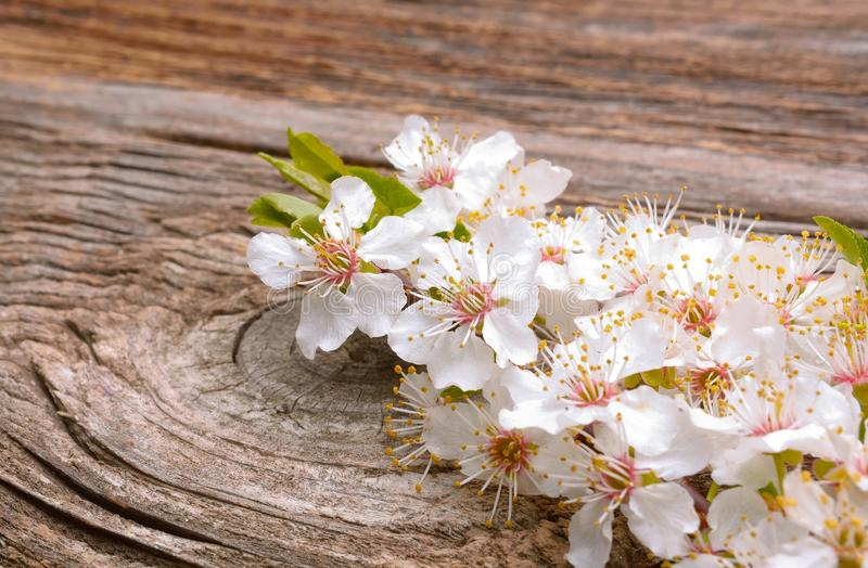 Spring blossom flowers apricot on wooden background. In studio stock photography