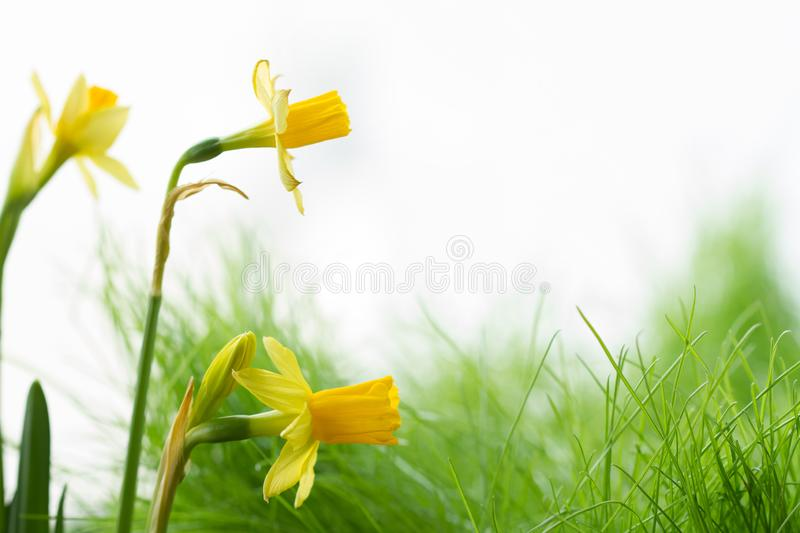 Spring blossom flowers daffodils on green meadow abstract floral background. On white stock images