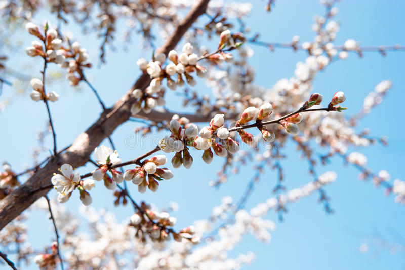 Spring blossom flowers. White apricot flowers covering branches against sky royalty free stock images