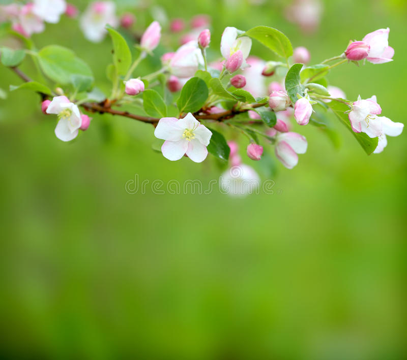 Spring blossom on green background. Spring blossom on green blurred background stock images