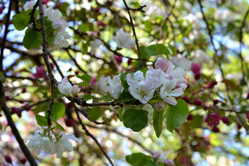 Spring blossom in orchard. Branches with beautiful flowers. royalty free stock images
