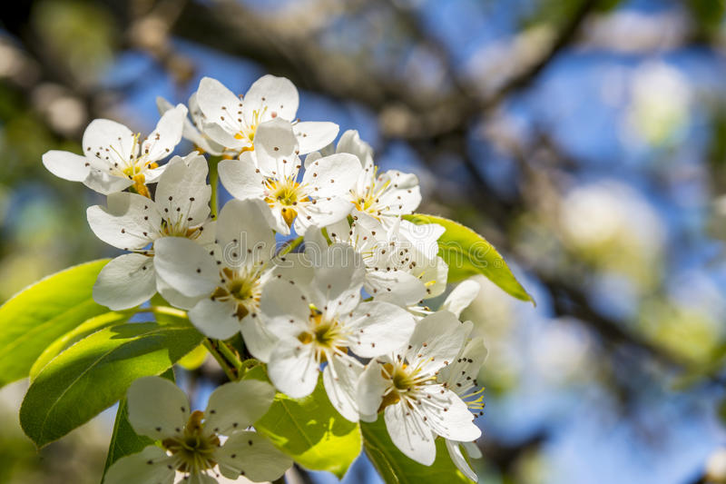 Spring blossom pear tree scientific name pyrus communis stock photo download spring blossom pear tree scientific name pyrus communis stock photo image of white mightylinksfo
