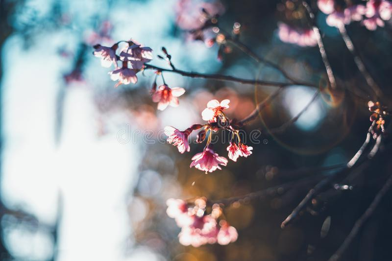 Spring blossom pink flowers Beautiful nature Spring blossom pink flowers Beautiful nature sunrise stock image