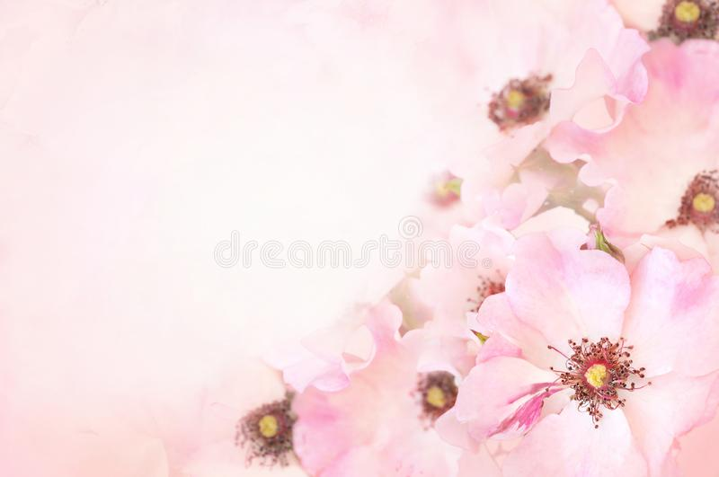 Spring blossom or summer blossoming rose rosehip, toned, bokeh flower background, pastel and soft floral card stock image