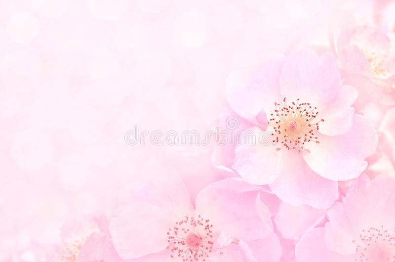 Spring blossom or summer blossoming rose rosehip, toned, bokeh flower background stock photography