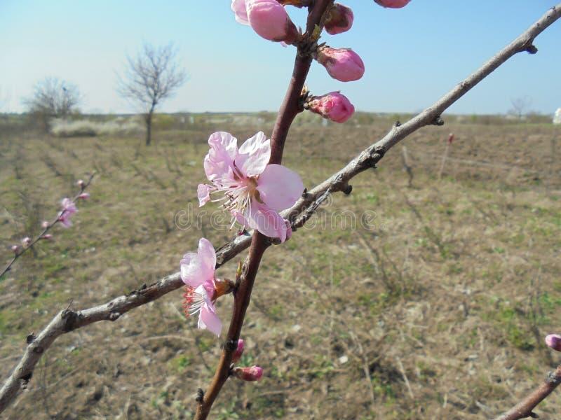 Spring blossom in vineyard. Pink flower. stock image