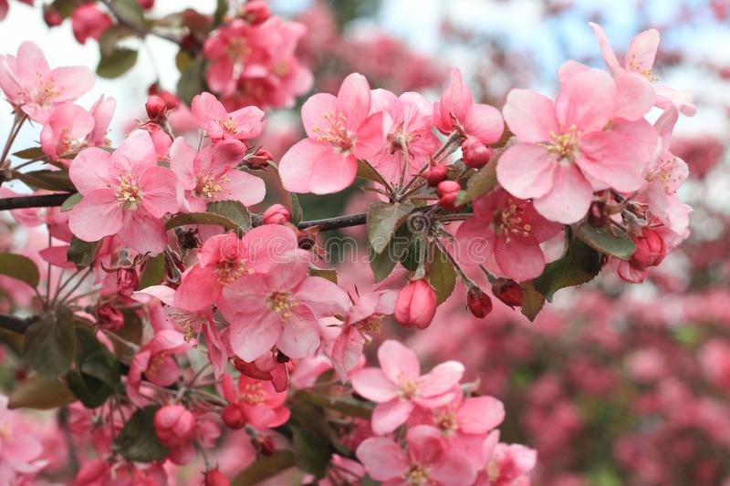 Spring blossoming apple tree branch in pink colors. Selective focus. April, May, springtime, spring equinox concept royalty free stock images
