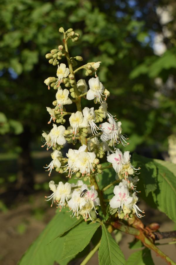 Spring blossoming chestnut tree flowers stock photography