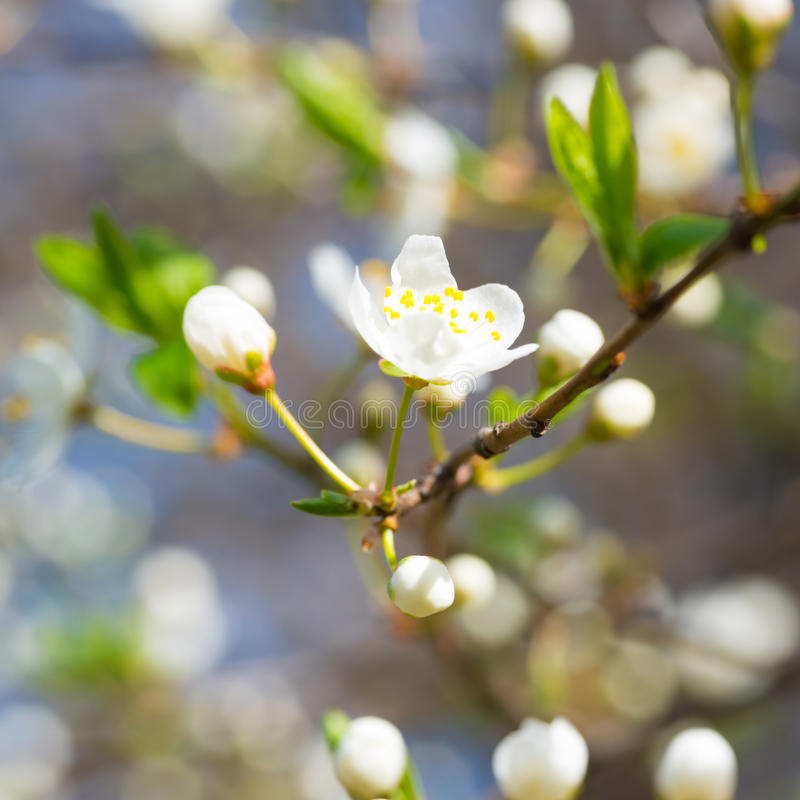 Spring blossoming white spring flowers. On a plum tree against soft floral background royalty free stock photo
