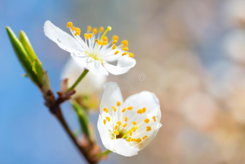 Spring blossoming white spring flowers. On a plum tree against soft floral background stock photography