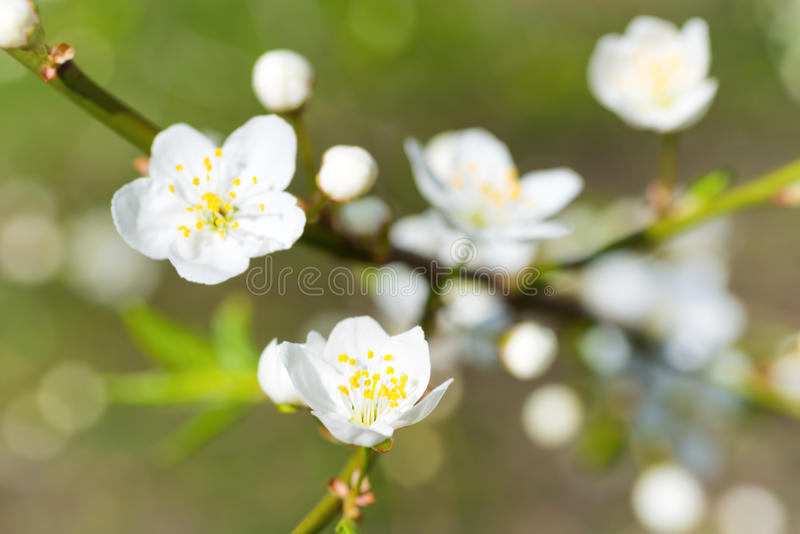 Spring blossoming white spring flowers. On a plum tree against soft floral background royalty free stock image
