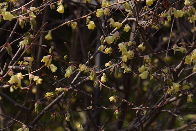 Buttercup winter hazel. Spring blossoms / Buttercup winter hazel royalty free stock photos