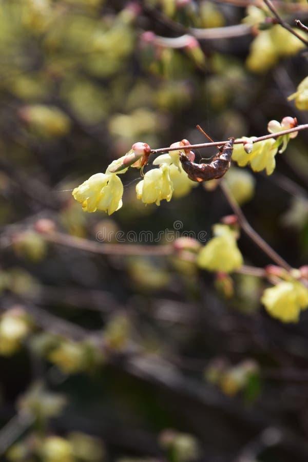 Buttercup winter hazel. Spring blossoms / Buttercup winter hazel stock photography