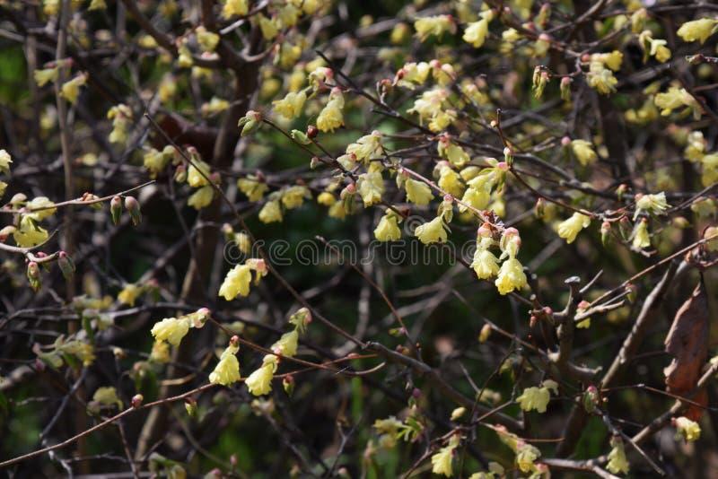 Buttercup winter hazel. Spring blossoms / Buttercup winter hazel stock image