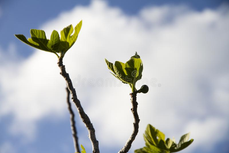 Spring blossoms: a fig tree pushes its branches towards the blue sky showing the first leaves that grow with a small fig fruit in stock photos