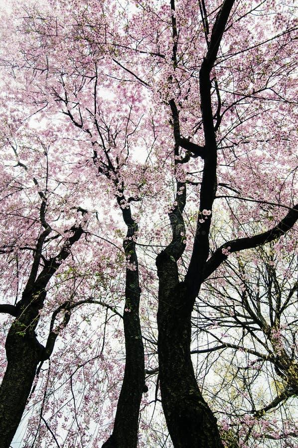 Spring blossoms, Mt Auburn Cemetery, Boston. Trees with pink spring blossoms in Mt. Auburn Cemetery, Boston, Massachusetts stock photography