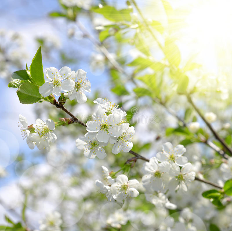 Spring blossoms tree. Spring blossoms cherry tree close up stock photo