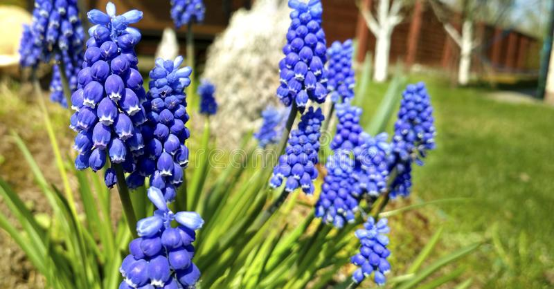 Spring blue flowers. Beautiful spring flower muscari close-up. stock photography