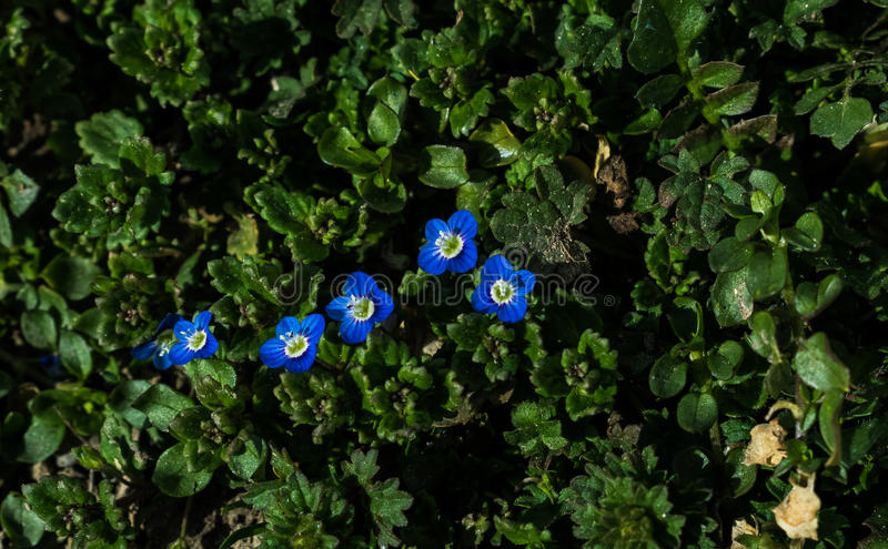Spring blue flowers stock image