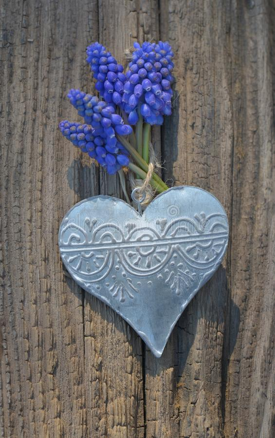spring blue flowers hung on an iron heart on a board royalty free stock images