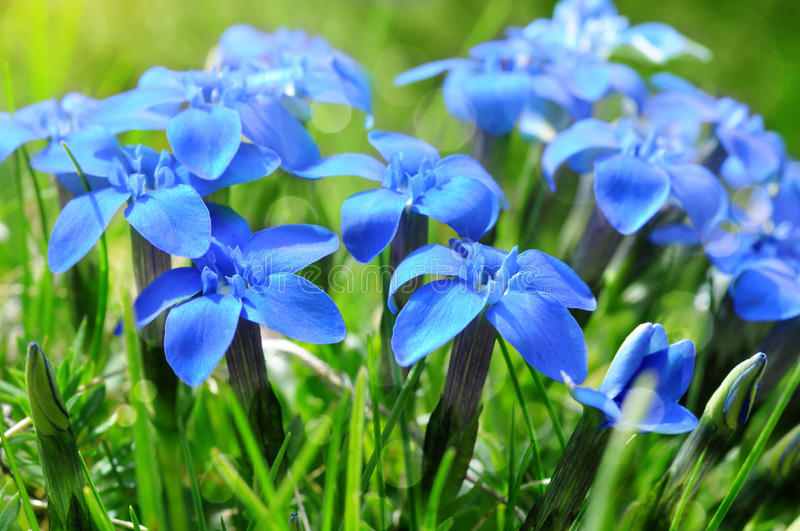 Spring blue gentians in the green grass stock photography