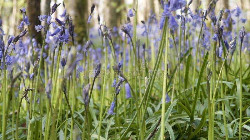 Spring Bluebells Cornwall royalty free stock photos