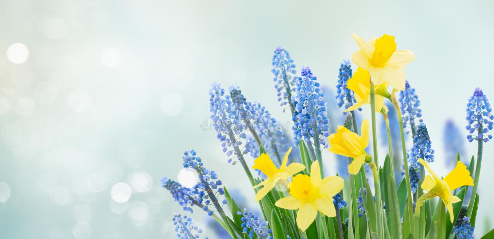 Spring bluebells and daffodils. Flowers under blue sky banner stock photo