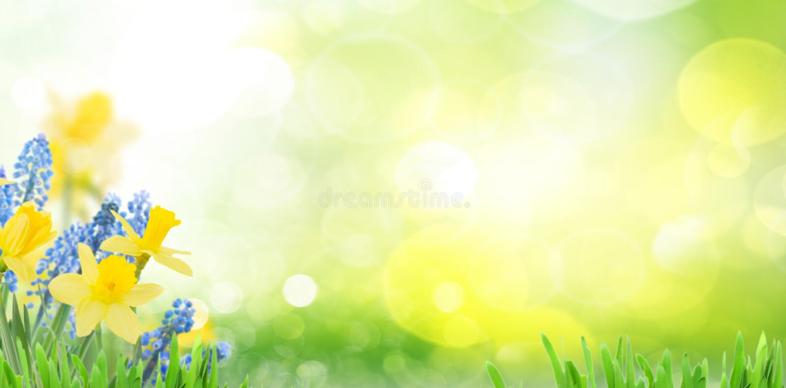 Spring bluebells and daffodils. In green garden banner with copy space royalty free stock images