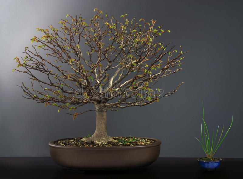 Spring bonsai elm tree stock photo