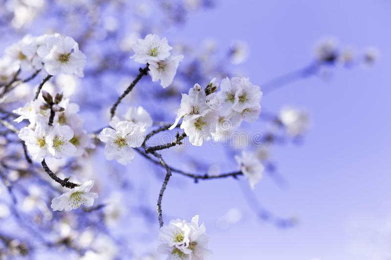 Spring border or background art with pink almond blossoms, beautiful nature scene with blooming tree, sky on an Easter sunny day. royalty free stock images