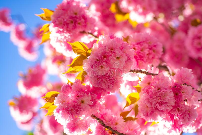 Spring border background with pink blossom. Cherry blossom. Branch delicate spring flowers. Sacura cherry-tree. Sakura stock images