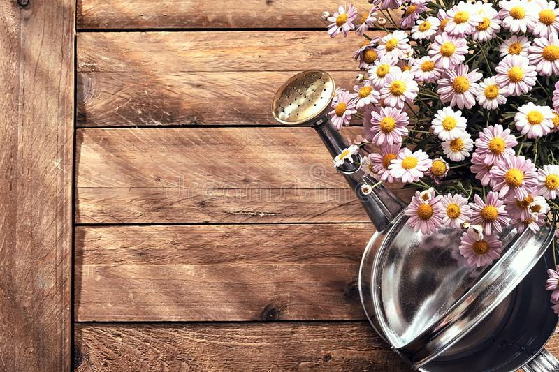 Spring border with fresh daisies and watering can stock photography