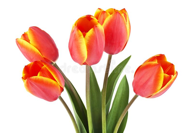 Spring bouquet. Tulips on a white background. Front view royalty free stock images