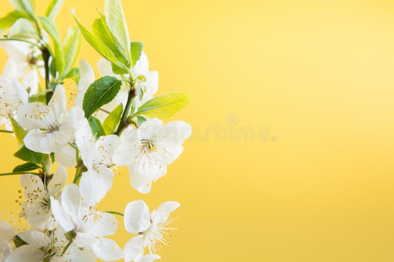 Spring bouquet of white blossom branches on punchy yellow. Floral pattern. Close up. Mothers day royalty free stock photos