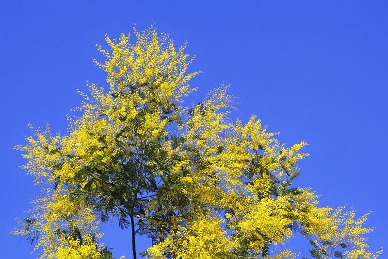 Spring. Branch Acacia dealbata tree with bright yellow flowers against blue sky. Spring. Branch Acacia dealbata  mimosa  tree with bright yellow flowers against royalty free stock image