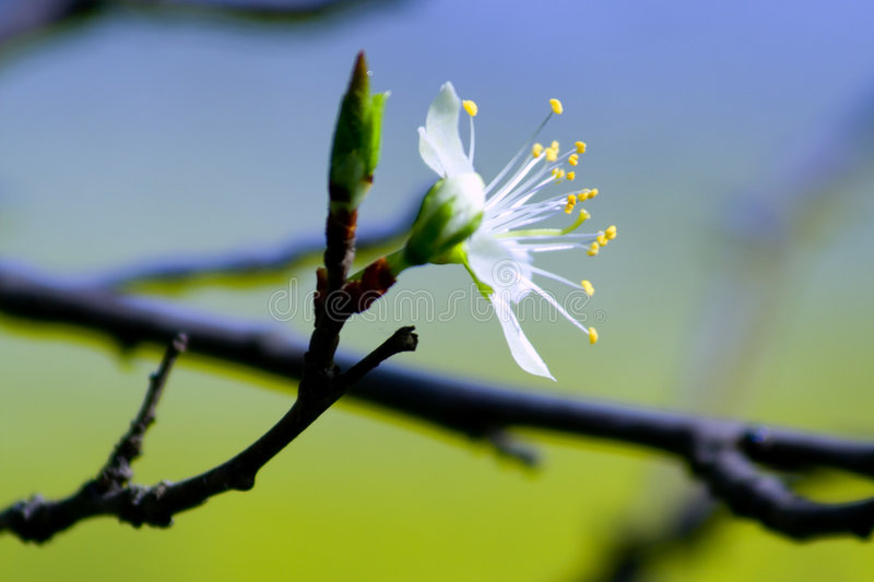 Spring branch with flower. Blossoming tree in spring - detail, photo of a branch and flower royalty free stock images