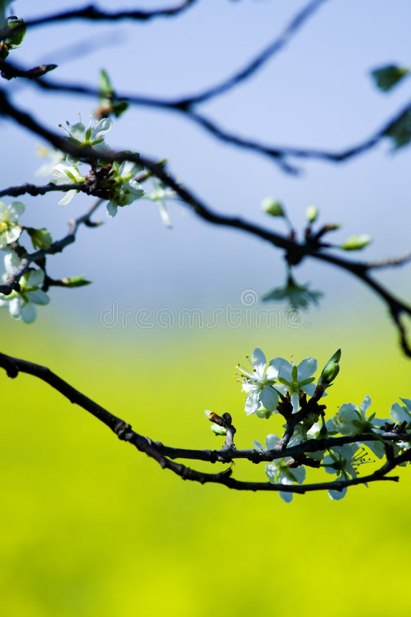 Spring branch with flower. Blossoming tree in spring - detail, photo of a branch and flowers stock photo