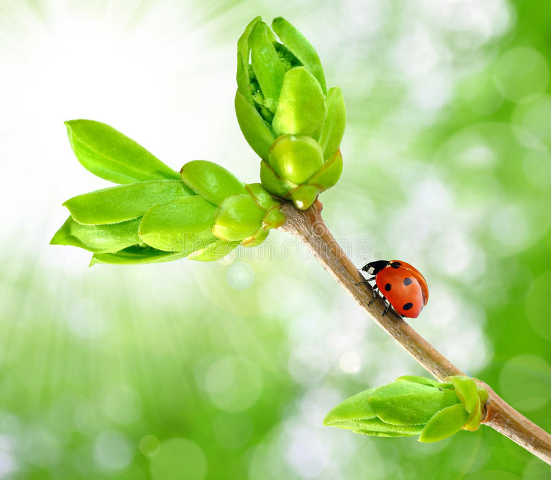 Spring branch with ladybug stock photography