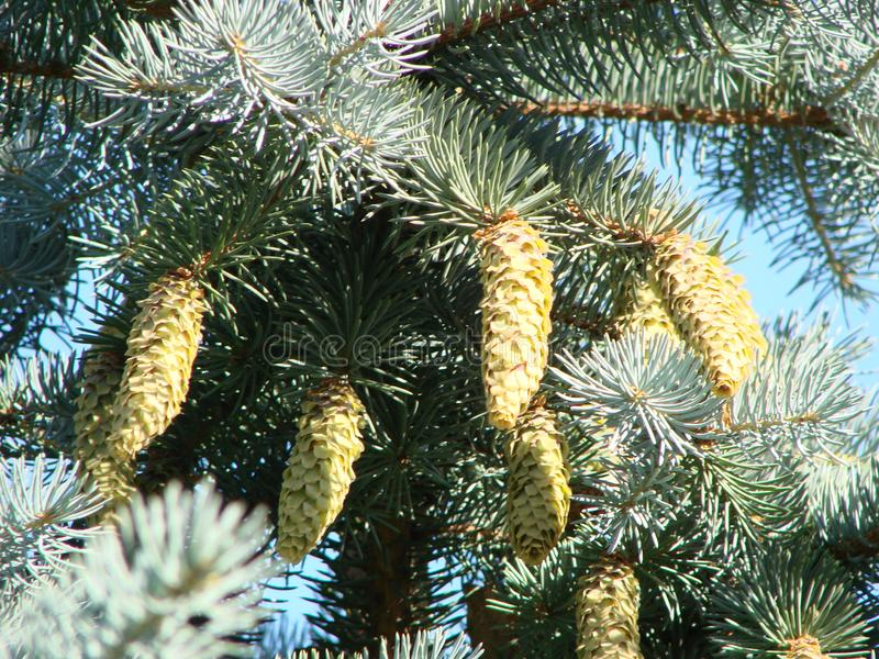 Spring branch of large coniferous Spruce tree, latin name Picea with long large hanging cones. Against blue skies with some clouds royalty free stock photography